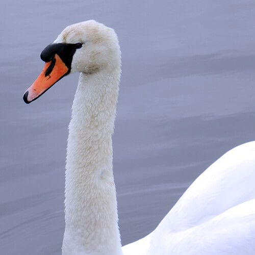 Facts about Mute Swan