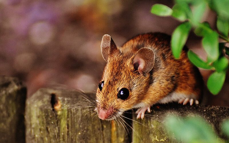 The Native Wood Mouse